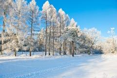 Mooi de winterlandschap met sneeuw behandelde bomen - zonnige de winterdag Stock Fotografie
