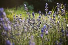 Mooi detail van een lavendelgebied Stock Afbeelding
