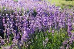 Mooi detail van een lavendelgebied in zonsondergang Royalty-vrije Stock Fotografie