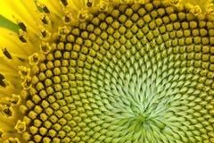 Mooi dicht omhooggaand centrum van zonnebloem stock fotografie