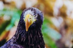 Mooi die close-up van het Overzees Eagle wordt geschoten van een Steller royalty-vrije stock afbeeldingen