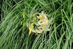 Mooi die Tiger Lilies in lang groen gras wordt geplooid Stock Foto