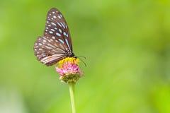 Mooi Donkerblauw Tiger Butterfly (Tirumala-septentrionis) royalty-vrije stock fotografie