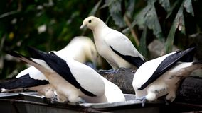 Mooi ducula van de pastei keizerduif tweekleurig status en het eten voedsel stock footage