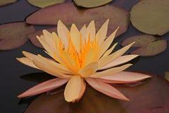 Mooi en kleurrijke waterlelie Royalty-vrije Stock Afbeelding