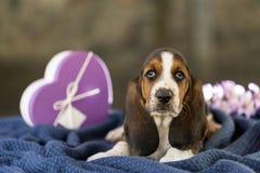 Mooi en zacht puppy, Basset hond met droevige ogen die o zitten royalty-vrije stock afbeeldingen
