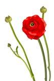 Mooie enige rode bloem Stock Afbeelding