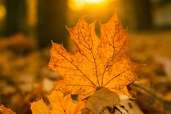 Mooi esdoornblad op de zon tegen daling vage achtergrond Stock Afbeelding