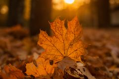 Mooi esdoornblad op de zon tegen daling vage achtergrond Stock Foto's