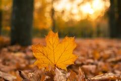 Mooi esdoornblad op de zon tegen daling vage achtergrond Stock Afbeeldingen