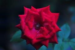 Mooi Fluweel Rode Rose Blooming in de Tuin Royalty-vrije Stock Afbeelding