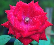 Mooi Fluweel Rode Rose Blooming in de Tuin Royalty-vrije Stock Foto