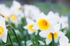 Mooi gebied met heldere gele en witte gele narcissen (Narcissen) Royalty-vrije Stock Foto