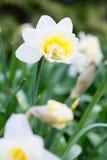 Mooi gebied met heldere gele en witte gele narcissen (Narcissen) Royalty-vrije Stock Afbeeldingen