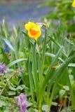 Mooi gebied met heldere gele en witte gele narcissen (Narcissen) Royalty-vrije Stock Foto's