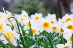 Mooi gebied met heldere gele en witte gele narcissen (Narcissen) Stock Afbeelding