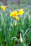 Mooi gebied met heldere gele en witte gele narcissen (Narcissen) Royalty-vrije Stock Fotografie