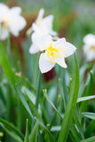 Mooi gebied met heldere gele en witte gele narcissen (Narcissen) Royalty-vrije Stock Afbeelding