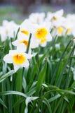 Mooi gebied met heldere gele en witte gele narcissen (Narcissen) Stock Afbeeldingen