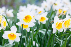 Mooi gebied met heldere gele en witte gele narcissen (Narcissen) Stock Foto