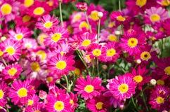 Mooi gebied van Kamille roze-purpere bloem bij een botanische tuin Stock Afbeelding