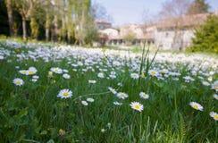 Mooi gebied van madeliefjes in de lente voor een landbouwbedrijf royalty-vrije stock fotografie