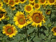 Mooi gebied van zonnebloemen Royalty-vrije Stock Foto's