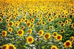 Mooi gebied van zonnebloemen Landelijke landschappen onder helder zonlicht Achtergrond van rijpende zonnebloem Rijke oogst royalty-vrije stock foto's