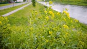 Mooi geel Bush op de Bank van de rivier in de stadskrommingen sterk onder de wind seizoen installatieclose-up stock footage