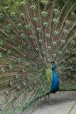 Mooi gevederte van een mannelijke pauw royalty-vrije stock foto