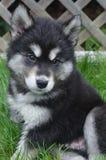 Mooi Gezicht van een Alusky-omhoog Dichte Puppyhond stock foto