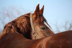 Mooi gouden paardportret die terug eruit zien Stock Afbeeldingen
