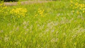 Mooi gras die in de wind slingeren Prachtig mooi kader Zeer mooie installaties Prachtige verlichting stock video