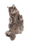 Mooi Gray Cat Begging stock fotografie