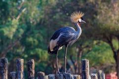 Mooi Grey Crowned Crane Stock Afbeelding
