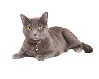 Mooi Grey Domestic Shorthair Cat Laying Royalty-vrije Stock Afbeeldingen