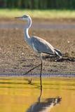 Mooi Grey Heron op het meer Royalty-vrije Stock Afbeeldingen