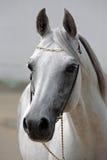Mooi grijs Arabisch paard tegen de stal Royalty-vrije Stock Afbeeldingen
