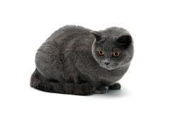 Mooi grijs kattenclose-up op een witte achtergrond Stock Afbeeldingen