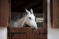 Mooi grijs paard Royalty-vrije Stock Foto's