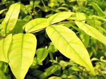 Mooi groen blad Royalty-vrije Stock Afbeelding