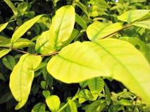Mooi groen blad Stock Afbeelding