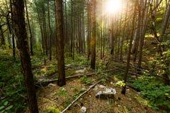 Mooi groen bos in de ochtendzon Royalty-vrije Stock Foto