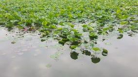 Mooi Groen Lotus met aardige Bloemen royalty-vrije stock foto
