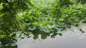 Mooi Groen Lotus met aardige Bloemen stock foto's