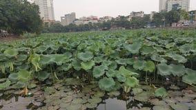 Mooi Groen Lotus met aardige Bloemen Stock Afbeeldingen