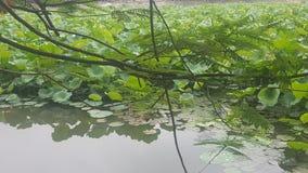 Mooi Groen Lotus met aardige Bloemen royalty-vrije stock fotografie