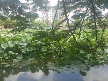 Mooi Groen Lotus met aardige Bloemen royalty-vrije stock afbeelding