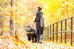 Mooi groot Newfoundland met de eigenaar op een de herfstgang in a Royalty-vrije Stock Foto's