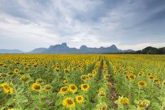 Mooi groot zonnebloemgebied Stock Foto